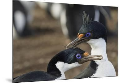 Imperial Shags, Falkland Islands-Adam Jones-Mounted Photographic Print