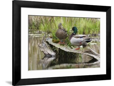 Mallard pair resting-Ken Archer-Framed Photographic Print