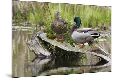 Mallard pair resting-Ken Archer-Mounted Photographic Print