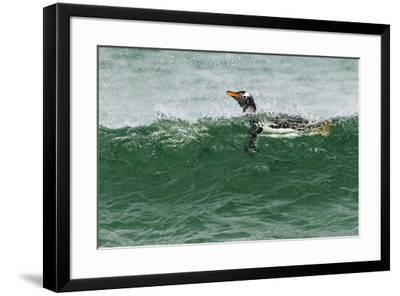 Gentoo Penguin swimming, Falkland Islands-Adam Jones-Framed Photographic Print
