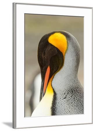 King Penguin, Volunteer Point, East Island, Falkland Islands-Adam Jones-Framed Photographic Print