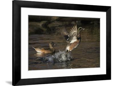 American Wigeon flying-Ken Archer-Framed Photographic Print
