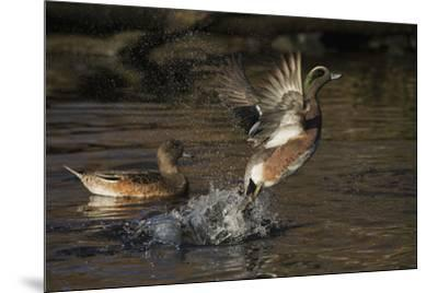 American Wigeon flying-Ken Archer-Mounted Photographic Print