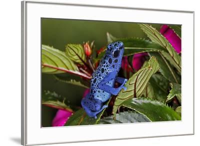 Blue Azureus Poison Dart frog, native to Suriname and Brazil-Adam Jones-Framed Photographic Print