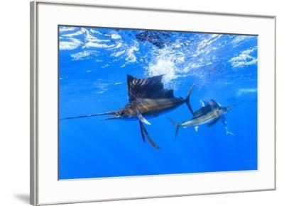 Sailfish feeding on Brazilian Sardines about 10 miles offshore from Isla Mujeres, Yucatan Peninsula-Stuart Westmorland-Framed Photographic Print