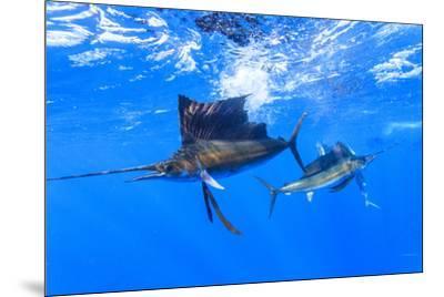 Sailfish feeding on Brazilian Sardines about 10 miles offshore from Isla Mujeres, Yucatan Peninsula-Stuart Westmorland-Mounted Photographic Print
