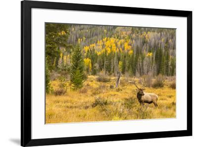 USA, Colorado, Rocky Mountain National Park. Bull elk in field.-Jaynes Gallery-Framed Photographic Print