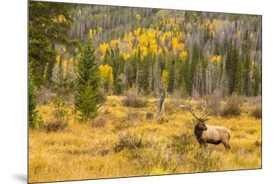 USA, Colorado, Rocky Mountain National Park. Bull elk in field.-Jaynes Gallery-Mounted Photographic Print