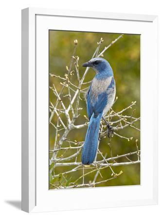 Florida scrub jay, Aphelocoma coerulescens Cruickshank Sanctuary, Florida.-Adam Jones-Framed Photographic Print