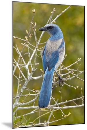 Florida scrub jay, Aphelocoma coerulescens Cruickshank Sanctuary, Florida.-Adam Jones-Mounted Photographic Print
