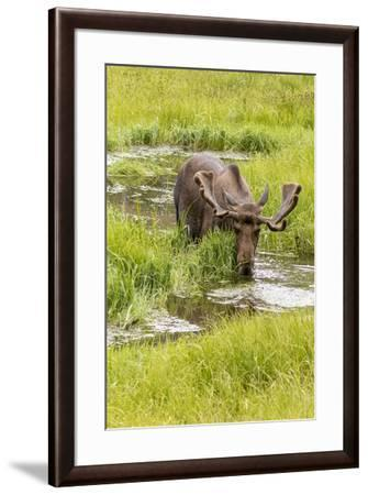 USA, Colorado. Bull moose in water.-Jaynes Gallery-Framed Photographic Print
