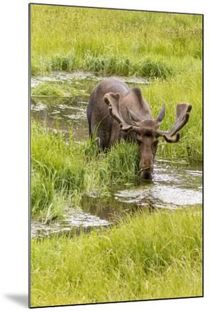 USA, Colorado. Bull moose in water.-Jaynes Gallery-Mounted Photographic Print