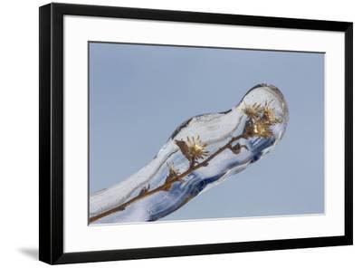 Weed seed stems encased in ice, Crestwood, Kentucky-Adam Jones-Framed Photographic Print