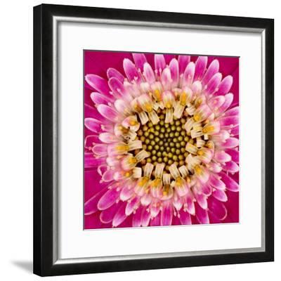 Close-up of gerber daisy, Florida.-Adam Jones-Framed Premium Photographic Print