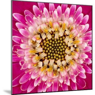 Close-up of gerber daisy, Florida.-Adam Jones-Mounted Premium Photographic Print