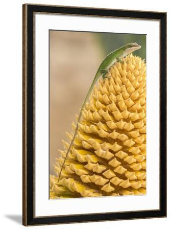 USA, Louisiana, Atchafalaya National Heritage Area. Green anole on plant.-Jaynes Gallery-Framed Photographic Print