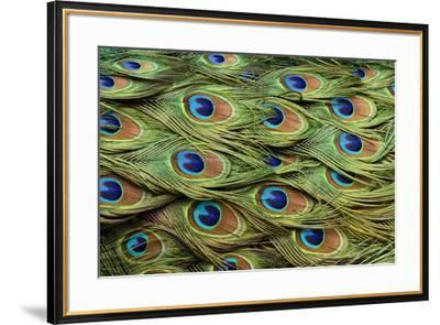Male Peafowl feather pattern, Pavo cristatus, Florida. Peacock-Adam Jones-Framed Photographic Print