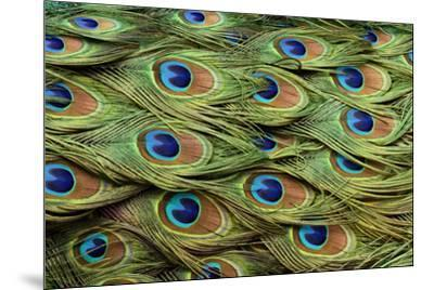 Male Peafowl feather pattern, Pavo cristatus, Florida. Peacock-Adam Jones-Mounted Photographic Print