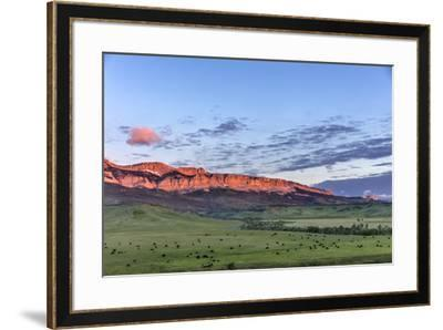 Beef cattle grazing below Walling Reef on the Rocky Mountain Front at sunrise near Dupuyer, Montana-Chuck Haney-Framed Photographic Print