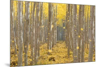 USA, Oregon, Morrow County. Poplar Trees at the Boardman Tree farm.-Brent Bergherm-Mounted Photographic Print
