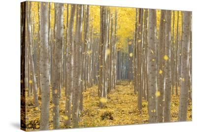 USA, Oregon, Morrow County. Poplar Trees at the Boardman Tree farm.-Brent Bergherm-Stretched Canvas Print