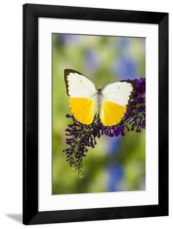 White and Yellow butterfly in the Pieridae family on purple Butterfly Bush-Darrell Gulin-Framed Photographic Print