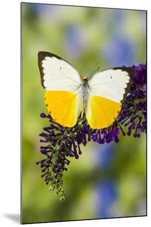 White and Yellow butterfly in the Pieridae family on purple Butterfly Bush-Darrell Gulin-Mounted Photographic Print