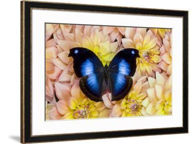 Blue Hookwing Butterfly, Napeocles jucunda on Dahlias-Darrell Gulin-Framed Photographic Print