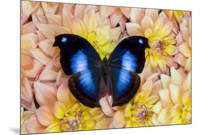 Blue Hookwing Butterfly, Napeocles jucunda on Dahlias-Darrell Gulin-Mounted Photographic Print