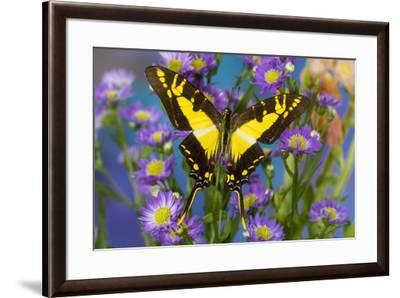 Eurytides thyastes the Orange Kite Swallowtail on Asters-Darrell Gulin-Framed Photographic Print