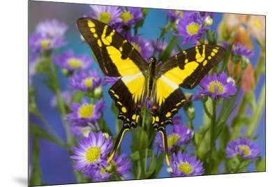 Eurytides thyastes the Orange Kite Swallowtail on Asters-Darrell Gulin-Mounted Photographic Print