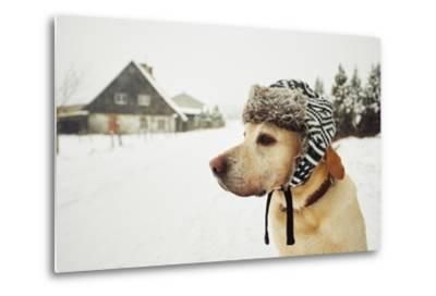Labrador Retriever with Cap on His Head in Winter-Jaromir Chalabala-Metal Print