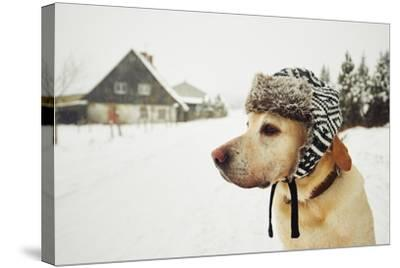 Labrador Retriever with Cap on His Head in Winter-Jaromir Chalabala-Stretched Canvas Print