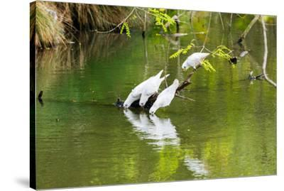 Little Corellas drinking from pond, Australia-Mark A Johnson-Stretched Canvas Print