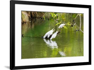 Little Corellas drinking from pond, Australia-Mark A Johnson-Framed Photographic Print