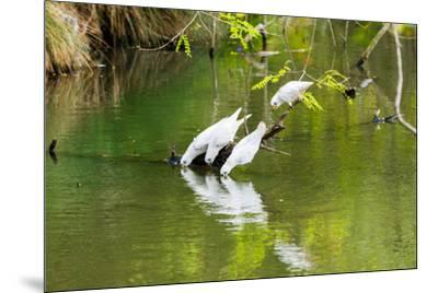 Little Corellas drinking from pond, Australia-Mark A Johnson-Mounted Photographic Print