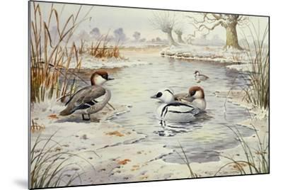 Smew-Carl Donner-Mounted Giclee Print