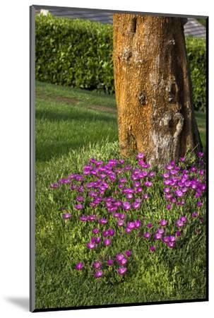 Pink flowers around a tree-Adriano Bacchella-Mounted Photo