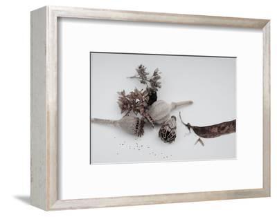 Fleurs de pavot séchées.-Angela Marsh-Framed Photographic Print
