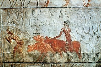 Walking cattle across a channel, wall relief, Saqqara, Egypt. Artist: Unknown-Unknown-Framed Giclee Print