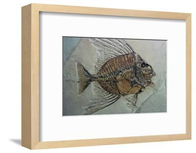 Rare fossilised fish. Artist: Unknown-Unknown-Framed Photographic Print