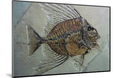 Rare fossilised fish. Artist: Unknown-Unknown-Mounted Photographic Print