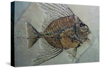 Rare fossilised fish. Artist: Unknown-Unknown-Stretched Canvas Print