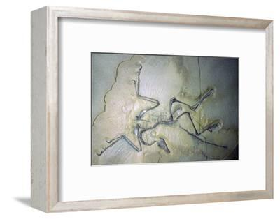 Fossil Archaeopterix with traces of feathers. Artist: Unknown-Unknown-Framed Photographic Print