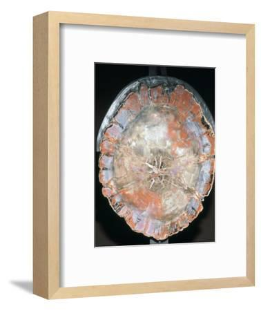 Petrified Wood. Artist: Unknown-Unknown-Framed Giclee Print