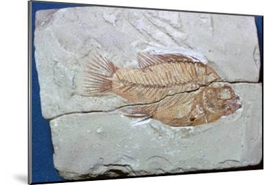 Fossil of a fish. Artist: Unknown-Unknown-Mounted Giclee Print