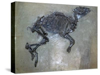 Fossil of a horse. Artist: Unknown-Unknown-Stretched Canvas Print