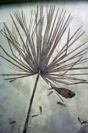 Fossil palm and fishes. Artist: Unknown-Unknown-Framed Giclee Print