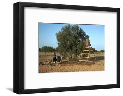 Picking olives in Tunisia. Artist: Unknown-Unknown-Framed Photographic Print