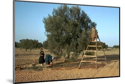 Picking olives in Tunisia. Artist: Unknown-Unknown-Mounted Photographic Print